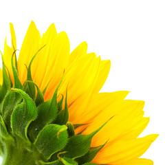 fleur de tournesol vue de l'arrière isolée sur fond blanc