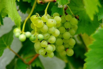 Bunches of green grapes on the vine