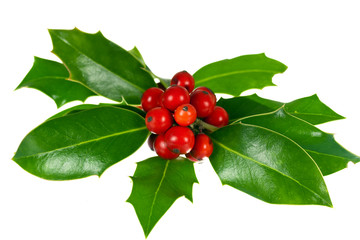 Holly -  Ilex - Stechpalme,freigestellt