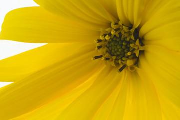 Yellow flower of autumn