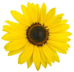 beautiful yellow sunflower on white