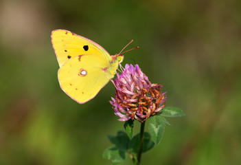 Colias hyale - Pale Clouded Yellow (2)