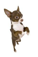 chocolate chihuahua standing up isolated
