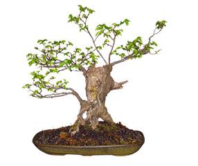 Bonsai Elm (Ulmaceae) with path