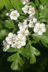Blüten und Blätter des Eingriffeligen Weißdorns