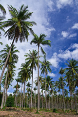 Coconut garden in Thailand