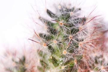 thorns of green cactus close-up