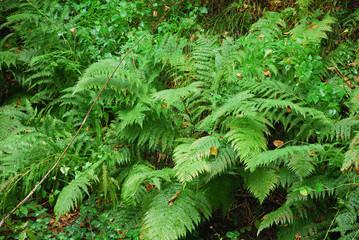 wet dryopterix filix-mas in natural environment
