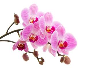 Fototapeta Pink phalaenopsis orchid