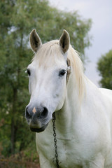 Rural horse  of the white color