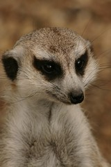 Meerkat Thoughts