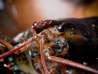Live Lobster Close-up