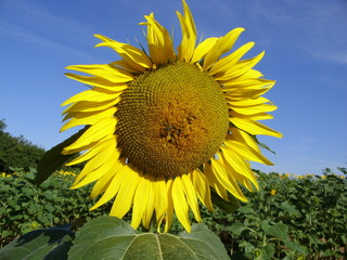 sunflower with bees 8