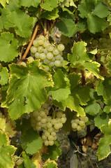 France, Alsace, vignoble à Riquewihr
