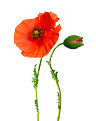 beautiful poppy flower and bud isolated on white