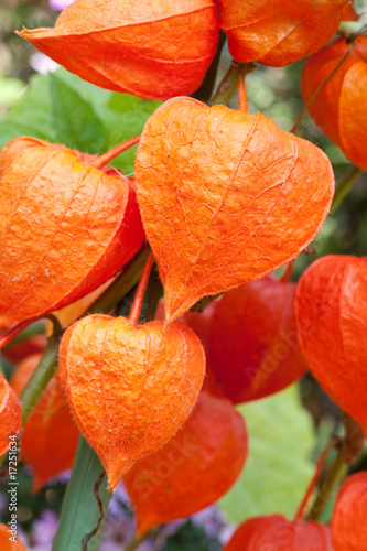 physalis alkekengi lampionblume im freien stockfotos. Black Bedroom Furniture Sets. Home Design Ideas