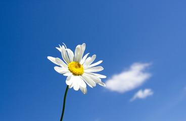 Little daisy on blue sky