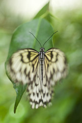 Butterfly (Idea Leuconoe) (South Asia)
