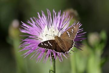 Fotoväggar - Dull Firetip Butterfly on Rothrocks Knapweed
