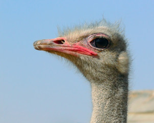 Struthio camelus, ostrich, a fragment, a close up.