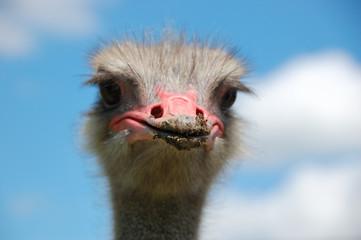 Ostrich on blue background