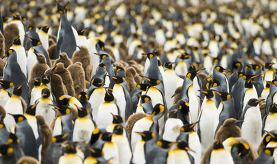 Crowded King Penguin Colony