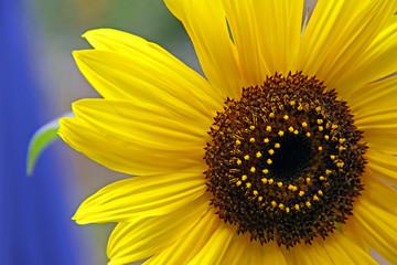 Yellow sunflower / sun flower petals and stamen