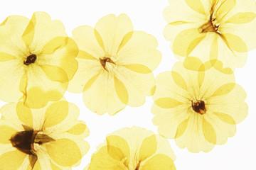 千鳥草の押し花
