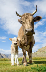 An adult cow and calf