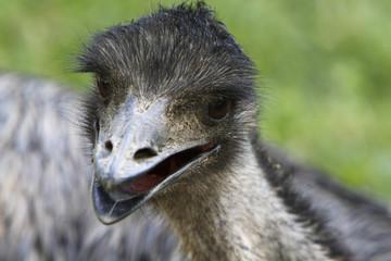 Großer Emu