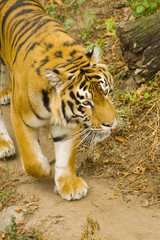 young Amur tiger in captivity zoo