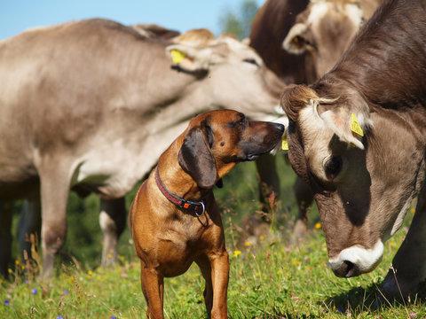 Kuh und Hund