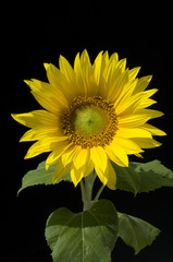 Sonnenblume; Helianthus annuus