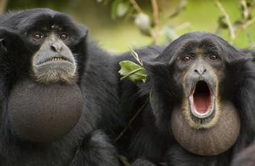 Siamang Gibbon, monkey