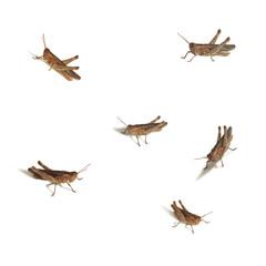 locusts isolated