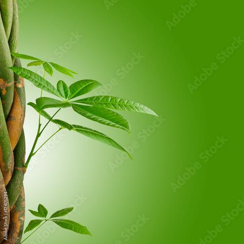 image nature pachira aquatica tress sur fond vert photo libre de droits sur la banque d. Black Bedroom Furniture Sets. Home Design Ideas