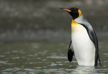 King Penguin Standing in the Shallows