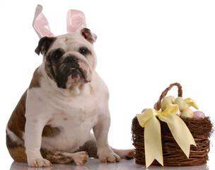 english bulldog sitting beside easter basket full of eggs