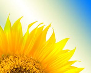 beautiful yellow Sunflower petals closeup .