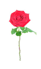 Red rose isolated.