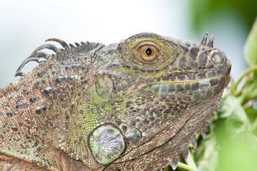 Solemn Iguana