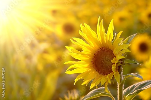 Wall mural Sunflower on a meadow in the light of the setting sun