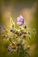 Fototapete - Magic purple wildflower in the splendor of the setting sun