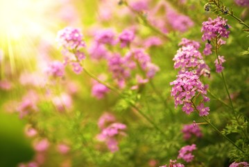 Pink verbena flowers in the field with sunlight.