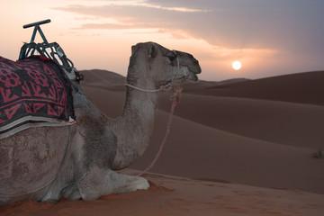 Dromedario nel deserto al tramonto
