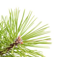 Green pine tree branch