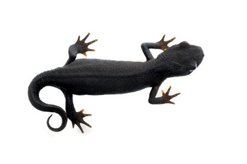 Fire Bellied Newt from above