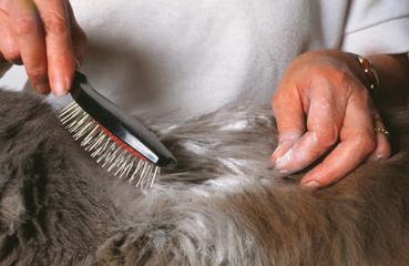 toilettage d'un chat et recherche de parasites externes