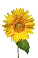 Beautiful Yellow Sunflower Isolated