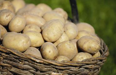 Bio Kartoffeln im Korb